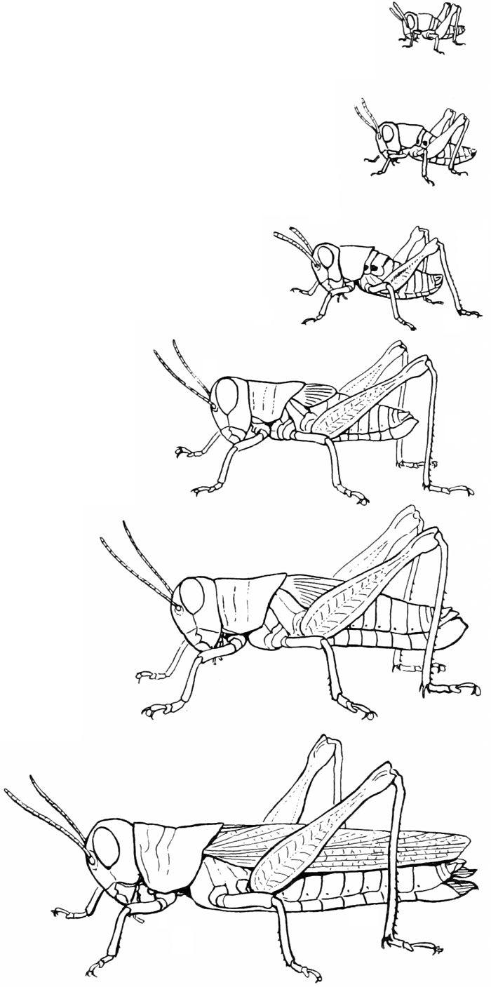Grasshopper life stages