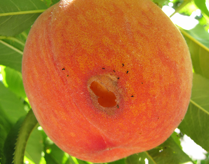 earwig peach damage