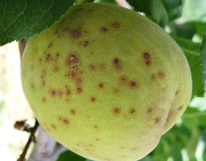 Coryneum blight on fruit