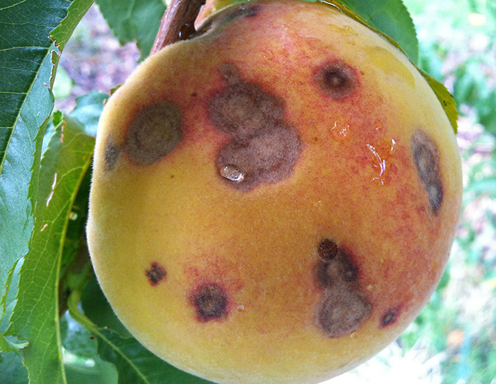 Coryneum blight on mature fruit