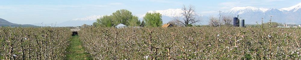Apples planted at 500 to 3,000 per acre significantly improve overall profits.